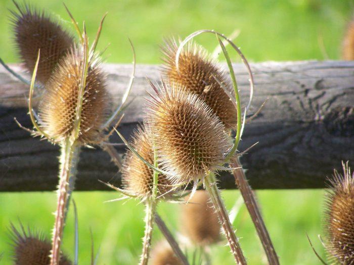 Семена расторопши настойка
